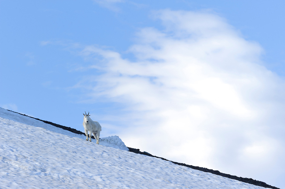 A mountain goat (Oreamnos americanus) stands on top of a snow field in Glacier National Park, Montana