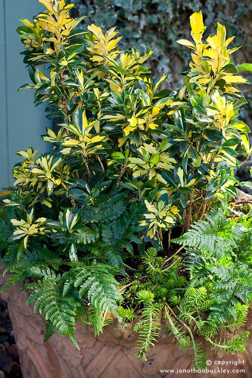Winter pot combination of Euonymus japonicus Exstase = 'Goldbolwi', Dryopteris erythrosora and Sedum rupestre 'Angelina'