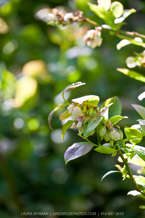 Highbush blueberry bush in flower (Vaccinum corymbosum)