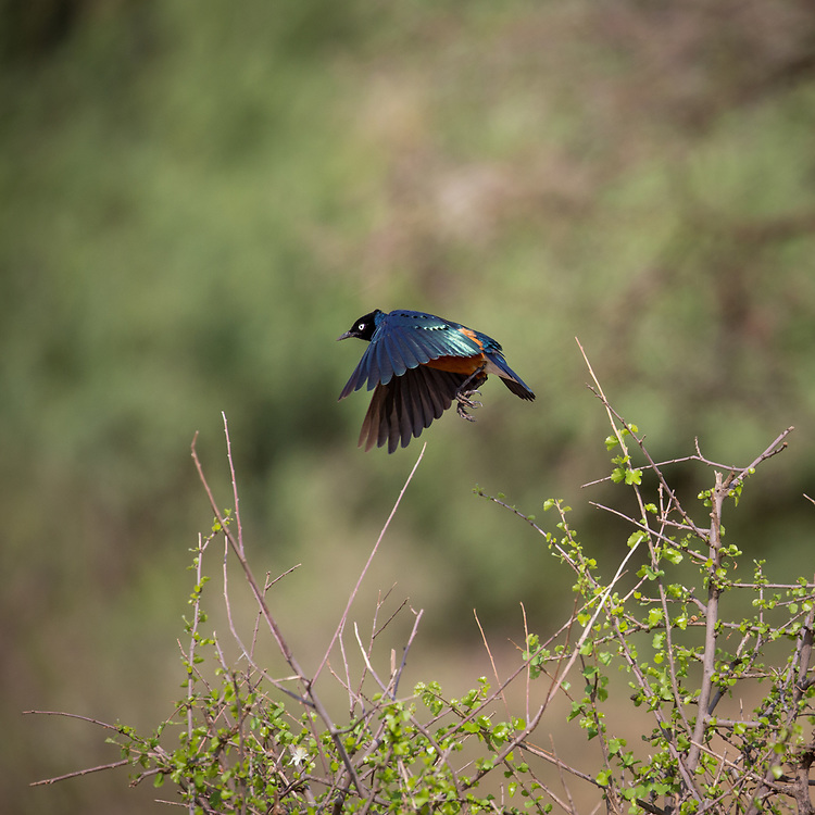 A superb starling takes flight