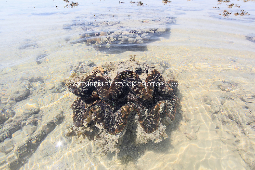 A colourful giant clam (Tridacna species) lies underwater on a shallow reef at the northern end of Augustus Island in Camden Sound on the Kimberley coast.