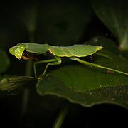 Rhombodera basalis is a species of praying mantis of the genus Rhombodera. Its commons name is the giant Asian shield mantis.