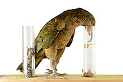 [captive] In this experiment, the Kea (Nestor notabilis) is presented three tubes filled with water, large or small stones. The Kea learns to drop stones into the tube filled with water until the water level has risen high enough for the Kea to pick up a nut. The picture was taken in cooperation with the University of Vienna (UniVie) and University of Veterinary Medicine Vienna (VetMed). Sequence 4/16. | In diesem Experiment werden dem Kea (Nestor notabilis) drei Röhrchen präsentiert, die entweder mit Wasser, kleinen oder großen Steinchen gefüllt sind. Der Kea wirft gezielt Steine in die Säule mit Wasser, bis die darin befindliche Nuss hoch genug schwimmt, um vom Kea erreicht zu werden. Das Bild wurde in Zusammenarbeit mit der Veterinärmedizinischen Universität Wien und der Universität Wien erstellt. Sequenz 4/16.