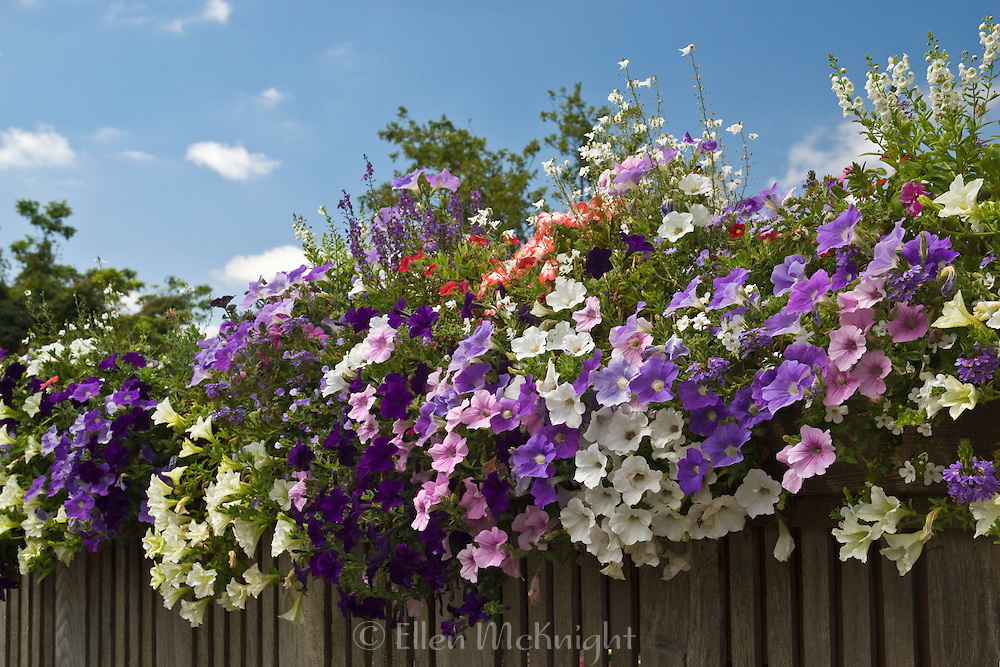 COLOURFUL WAVE PETUNIAS ON A FENCE