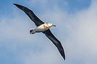 Immature Shy Albatross in flight and covered in oil on its breast, Cape Canyon Trawl Grounds, South Africa
