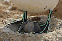 Cape Gannet incubating its single egg with its webbed feet Bird Island, Eastern Cape, South Africa