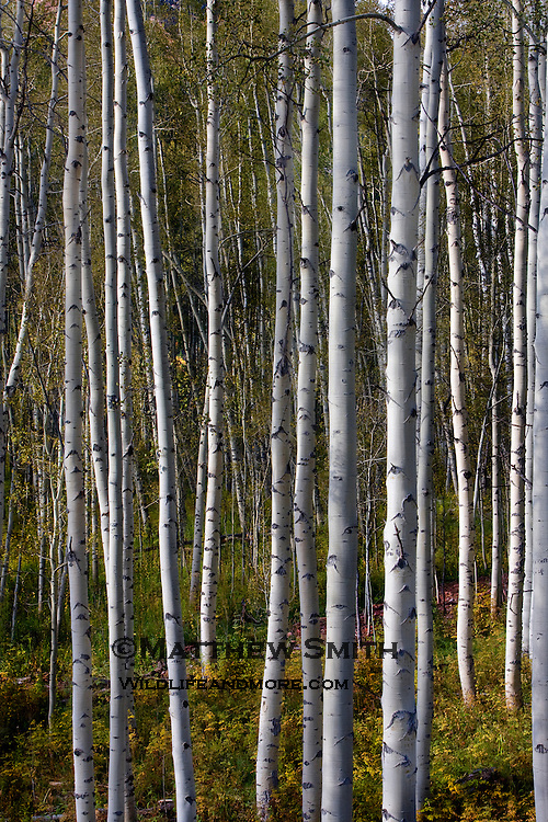 Fall Aspens in Colorado