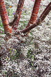Anthriscus sylvestris 'Ravenswing' growing around the base of Prunus serrula - Birch Bark Cherry tree
