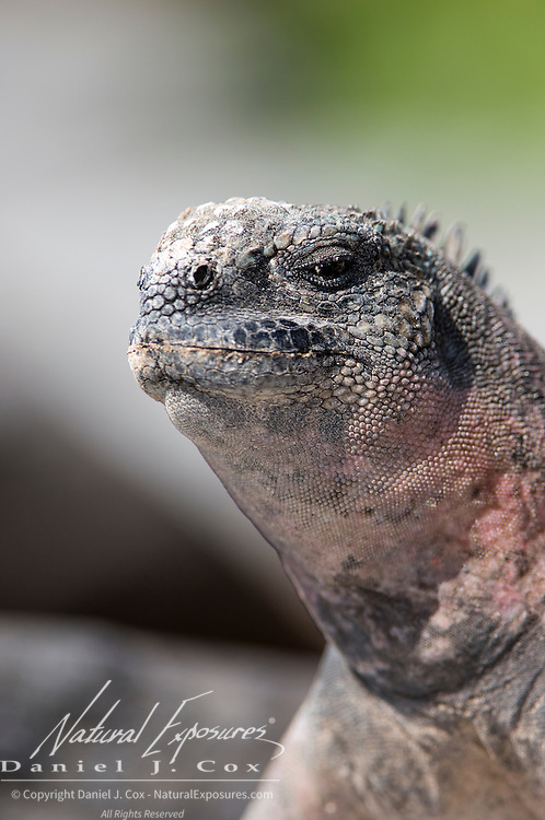 Marine Iguana (Amblyrhynchus cristatus). Galapagos, Ecuador