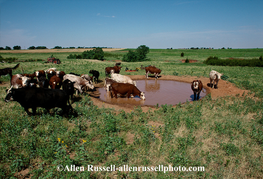 Beef cattle, farm pond, Oklahoma<br /> PROPERTY RELEASED