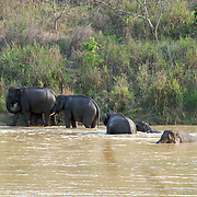 Wild asian elephants, Elephas maximus, at Kui Buri National Park, Thailand.