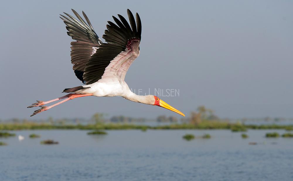 Yellow-billed Stork (Mycteria ibis) at Lake Naivasha, Kenya.