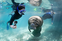 Florida manatee, Trichechus manatus latirostris, a subspecies of the West Indian manatee, endangered. A female snorkeler observes a manatee calf on a cool Florida day with manatees gathered around the warm springs. She is videoing with a GoPro while another snorkeler looks on. Horizontal orientation and polite, passive interaction. Three Sisters Springs, Crystal River National Wildlife Refuge, Kings Bay, Crystal River, Citrus County, Florida USA.