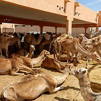 Ras Al Ain Camel Market