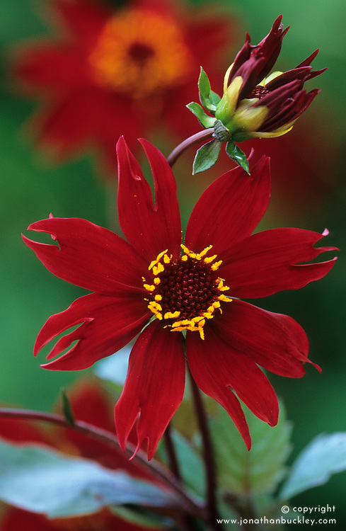 Dahlia 'Royal Blood'