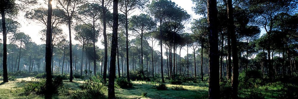 SPAIN, ANDALUSIA La Doñana N.P. umbrella pine trees