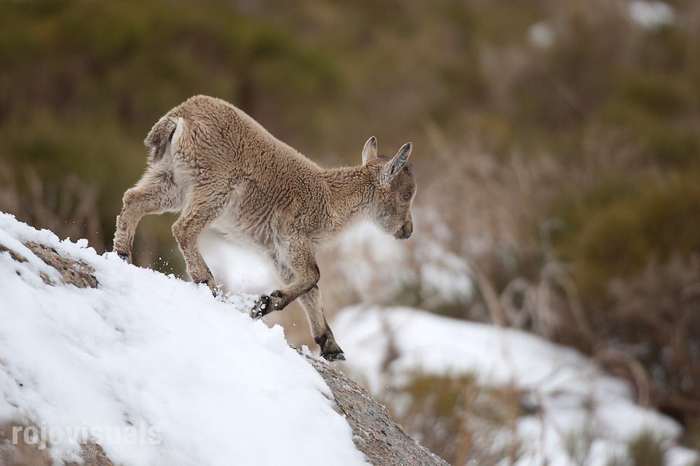 Gredos Spanish Ibex (Capra pyrenaica victoriae).Sierra de Gredos, Avila.Spain