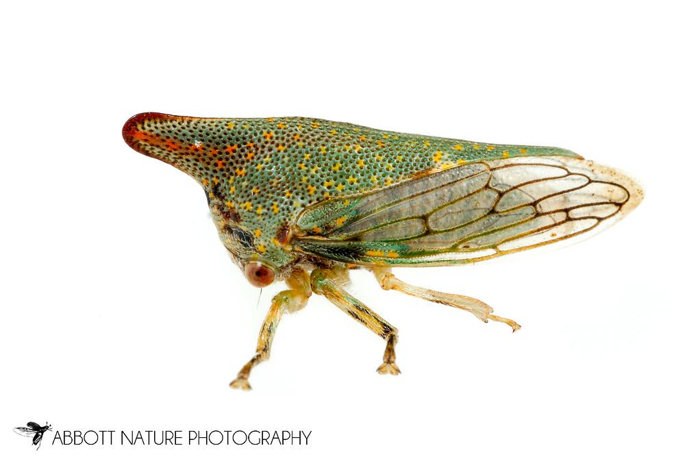 Oak Treehopper (Platycotis vittata)<br /> United States: Alabama: Tuscaloosa Co.<br /> Tulip Tree Springs off Echola Rd.; Elrod<br /> 16-Jun-2016<br /> J.C. Abbott #2833 &amp; K.K. Abbott