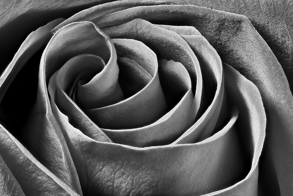 Rose was created by stacking 51 separate images. The image won 2nd place in the professional &ldquo;Black and White&rdquo; category at the 2016 Art in Nature Photo Competition at the Ward Museum of Wildfowl Art in Salisbury, Maryland. It is the original rose that sparked my interest in this flower. <br /> <br /> Ocean View, DE - 2016
