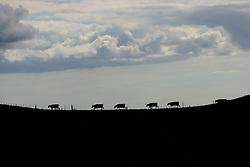 NEW ZEALAND OTOROHANGA 15DEC07 - Dairy cows near Otorohanga, northern island, New Zealand...jre/Photo by Jiri Rezac..© Jiri Rezac 2007..Contact: +44 (0) 7050 110 417.Mobile:  +44 (0) 7801 337 683.Office:  +44 (0) 20 8968 9635..Email:   jiri@jirirezac.com.Web:    www.jirirezac.com..© All images Jiri Rezac 2007 - All rights reserved.