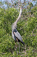 Great Blue Heron - Ardea herodias - adult displaying at nest site