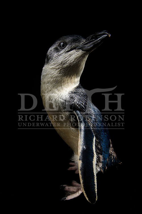 Eudyptula minor (Little penguin) white flippered morph in rehabilitated captivity at the National Aquarium of New Zealand.<br />