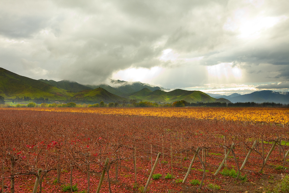 Grape crops, Elqui Valley, Coquimbo Region, Chile