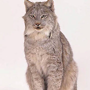 Canada Lynx, (Lynx canadensis) On white background. Captive Animal.