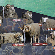 Different breeds of sheep during the sheep show at Agrodome, Rotorua. The Agrodome offers visitors the experience of seeing through the eyes of a New Zealand farmer. Situated just north of Rotorua city on a scenic 160 hectare sheep and beef farm, Agrodome gives visitors an educational and hands-on experience..  Agrodome includes a Sheep Show featuring 19 breeds of sheep, sheep shearing, cow milking, lamb feeding and dog demonstrations. .The Organic Farm Tour gives visitors a hands-on experience with a variety of farm animals. Rotorua, New Zealand,. 10th December 2010 Photo Tim Clayton.