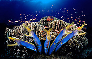 Digital art creation with blue ribbon eels, photographeed in Papu New Guinea.