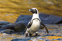 Adult African Penguin emerging from water, Bird Island, Algoa Bay, Eastern Cape, South Africa