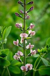 Baptisia 'Pink Truffles' (Decadence Series). False Indigo