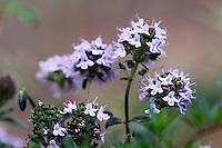 Thyme (Thymus sp), Crete