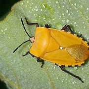 Tessarotomidae giant shield bug in Kaeng Krachan National Park Thailand.