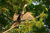 Anhinga (Anhinga anhinga) drying wings in tree,  Wakodahatchee Wetlands, Delray, Beach, USA