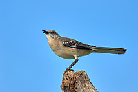 Northern Mockingbird (Mimus polyglottus), perched on tree stump, Arthur R. Marshall Loxahatchee National Wildlife Reserve, Wellington, Florida, USA.    Photo: Peter Llewellyn