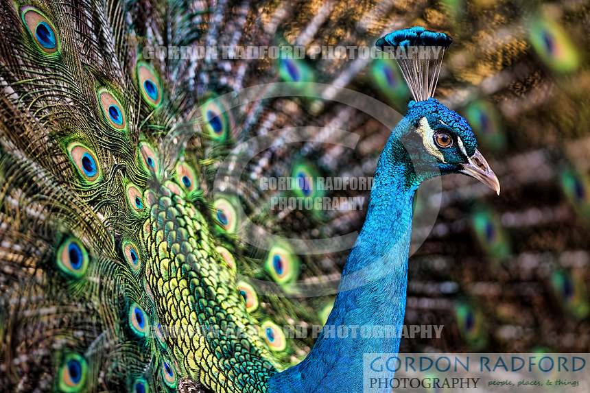 Peacocks are large, colorful pheasants (typically blue and green) known for their iridescent tails. These tail feathers, or coverts, spread out in a distinctive train that is more than 60 percent of the bird&rsquo;s total body length and boast colorful &quot;eye&quot; markings of blue, gold, red, and other hues. The large train is used in mating rituals and courtship displays. It can be arched into a magnificent fan that reaches across the bird's back and touches the ground on either side. Females are believed to choose their mates according to the size, color, and quality of these outrageous feather trains.<br />