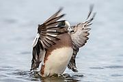 American Wigeon, Mareca americana, male, Choptank River, Maryland