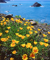 When I saw these California Poppies along the coast I set up the 4x5 view camera to photograph this quintessential California image of glowing orange flowers growing from vibrant green plants with the blue Pacific Ocean as a background.