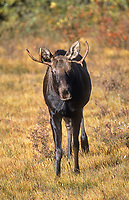 Moose (Alces alces) Immature male, Kananaskis, Alberta, Canada