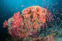 Soft Corals and Schooling Reef Fish create a riot of color<br /> <br /> Shot in Indonesia