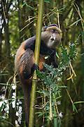 golden monkey (Cercopithecus kandti), Virunga National Park, Rwanda, Africa