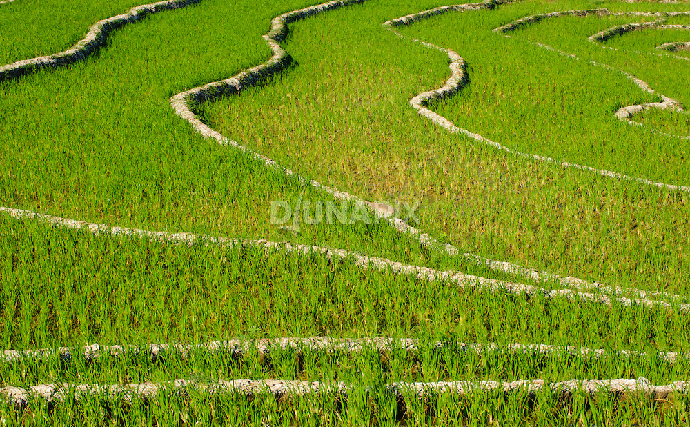 Irrigated rice fields, So'a Basin.