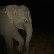 Wild female asian elephant, Elephas maximus, caught in a camera trap at night in Thap Lan National Park, Thailand.