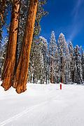 Skier under Giant Sequoias at Circle Meadow, Sequoia National Park, California USA