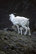 Dall Sheep, Sheep, Female Sheep, Ewe and Lamb, ewe, lamb, feeding, nursing, baby, Denali National Park, Alaska