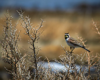Horned Lark in the wetlands of the Arapaho National Wildlife Refuge. Image taken with a Nikon D300 camera and 80-400 mm VR lens (ISO 200, 400 mm, f/8, 1/1250 sec).