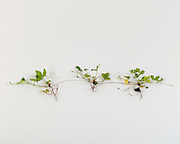 Vegatative reproduction, strawberry runners, plant chain