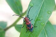Blackened Milkweed Beetle;  Tetraopes melanurus; NJ, Pine Barrens;