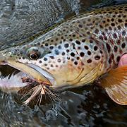 A brown trout caught on a Montana trout stream using salmon fly pattern (i.e., Godzilla Salmon Stone).
